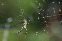 A Wasp Spider (Argiope Bruennichi) On Spiderweb. Arachnids Of Meadows And Steppes.