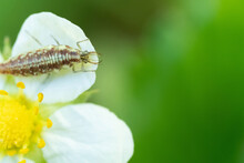 An Insect With Claws On A White Flower Petal With Yellow Stamens