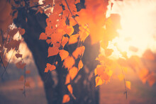 Autumn Yellow Leaves On The Birch Tree At Sunset. Selective Focus. Beautiful Autumn Nature Background