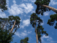 European Forest. The Sky With The Tops Of Trees. View Up From Ground Level.  Beautiful Fir Forest. Blue Sky With Sun And Clouds.
