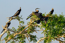 Darter, Anhinga, In The Wild On The Island Of Sri Lanka