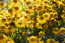 Yellow Flowers Of Common Sneezeweed Blooming In Summer.Helenium Autumnale Is A North American Species Of Flowering Plants In The Sunflower Family. Common Name Is Common Sneezeweed.