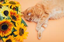 Ginger Cat Lying Next To Bunch Of Sunflowers On Orange Background. Pet Enjoying Flowers