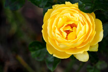 A Yellow Rose Bud On A Dark Background Of Green Leaves In The Garden In Summer. Top View