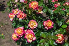 Close-up Of Garden Rose Pullman Orient Express