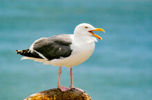 A Seagull Sitting On A Pier Piling By The Ocean.