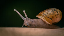 Macro Closeup Of A Slimy Snail Crawling Out Of Its Shell