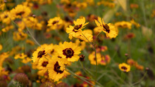 Yellow Flowers With Maroon Center .