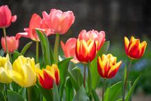チューリップの花 春のイメージ