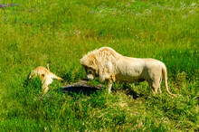 A Lion And A Lioness Eat Meat In The Summer On The Grass.