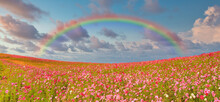 Beautiful Panoramic Of Cosmos Flowers Blooming In The Field With Beutiful Sky And Rainbow
