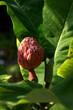 canvas print picture - Magnolia macrophylla