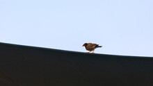 Single Mynah Stands On A Border Between Dark Canopy And Blue Sky Background