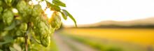 Fresh Green Hop Cones Growing On The Vine. Hop Banner. Beer Brewing Ingredients.