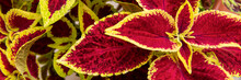 Close Up Of Variegated Burgundy And Green Coleus Plant. Painted Nettle, Flame Nettle, Decorative Nettle Banner. Lush Multi Colored Coleus Bush.