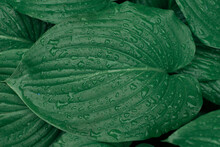 Green Leaves Of The Plant Close Up Covered With Raindrops