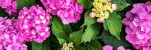 Vibrant Pink Hydrangea Blossoms Close Up. Hydrangea Macrophylla Shrub. Hortensia Floral Background.