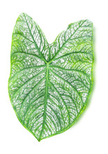 Closeup Of White Leaf Green Vein Of Caladium Isolated On White Background, Clipping Path
