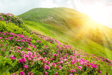 Blossoming Pink Rhododendron Flowers On The High Mountain Hill Fields Background On Sunny Day. Vacation And Travel. Carpathians, Ukraine, Europe.