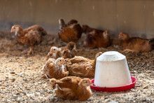 Young Chicken On Organic Farm