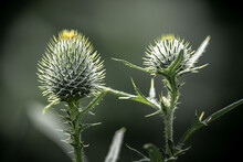 Closeup Of Thistle Flowers On A Blurry Nature Background