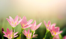 Pink Crocus Flowers On Nature Blurry Background. Spring Flower Blossom In The Garden Under Sunlight Using As Background Natural Flora Landscape, Ecology Cover Page Concept.