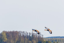 Two Greylag Goose Flying In The Sky At Springtime