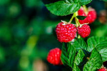 Red Ripe Raspberries Hang On A Green Bush On A Bright Sunny Day. Background With Space To Copy.