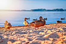 Ducks On The Lake Shore, Sunny Summer Evening.
