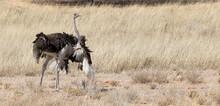 Female Ostrich In Mating Ritual Dance