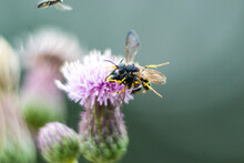 Macro Of Bees Mating On The Field Thistle (Cirsium Arvense)