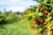 Raspberries In Field