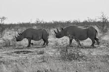 Two Black Rhinos (Diceros Bicornis) At Etosha Wildlife Reserve, Namibia.