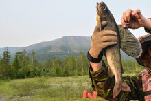 Siberian Grayling.