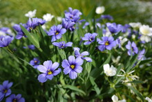 Sisyrinchium Angustifolium (blue-eyed Grass) Is A Large Genus Of Annual To Perennial Flowering Plants In The Family Iridaceae.