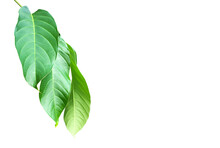 Green Leaves Of  Queen Crepe Myrtle Isolated On White Background, Clipping Paths.
