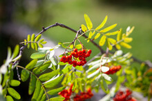 Mountain Rowan Ash Branch Berries On Blurred Green Background. Autumn Harvest Still Life Scene. Soft Focus Backdrop Photography. Copy Space.