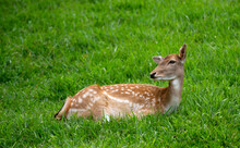 Female Deer Lying On Grass Isolated In Selective Focus.