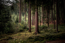 Tall Trees And Plants In The Bavarian Forest