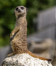 Meerkat, Suricata Suricatta Sitting On A Stone And Looking Into The Distance