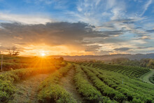 Beautiful Sunsets At Chui Fong Tea Plantation  Chiang Rai Thailand.