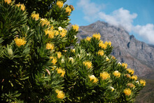 Large Flowering Yellow Pincushion Protea Tree With Multiple Blooming Flower Heads, Growing In The Mountains Of The Western Cape, South Africa. Species: Leucospermum Conocarpodendron