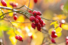 Ripe Red Rose Hips On A Plant