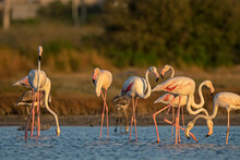 Pink Big Birds Great Flamingos, Flamingos Cleaning Feathers, Looking For Food In Water. Wild Animal Scene From Nature.