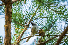 Siberian Tit Near The Pine Cone On The Tree Branch Against A Blue Sky