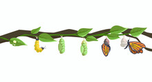 Butterfly Metamorphosis And Life Cycle Of Larva