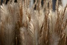 Dried Grass Beige On. Golden Flowering Spikelets Dry Autumn Grass. Solar Lighting, Contour Light. Dry Autumn Grasses With Spikelets Of Beige Color Close-up. Natural Background. Selective Focus