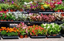 Seedlings Of Various Garden Flowers, Marigolds, Petunias, Petunias, Geraniums In Boxes.