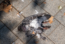 Closeup Shot Of A Dead Pigeon On A Bricky Ground With Fall Leaves