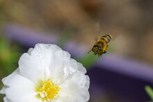 Closeup Of The Bee Flying Towards The Flower.